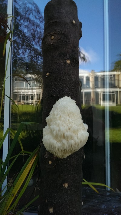 Lion S Mane Mushroom Plug Spawn