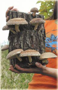 Shiitake Growing from a 50 cm Oak Log