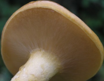 Nameko Mushroom