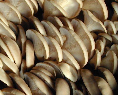 Pearl Oyster Mushrooms