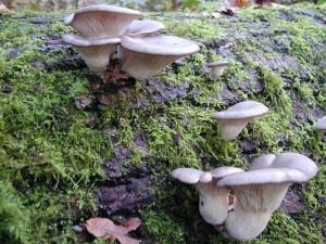 Summer Oyster Mushroom
