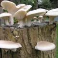 Pearl Oyster Mushroom