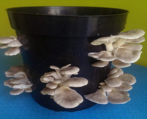 Oyster Mushroom Plant Pot Kit