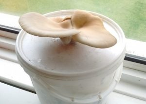 oyster mushrooms grown using coffee grounds