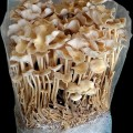 Sawdust Spawn Enoki Mushrooms