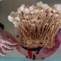 First flush of Enoki from a 3kg Sawdust Spawn Bag