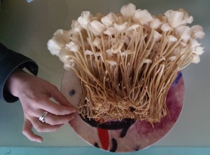 First flush of Enoki from a 3kg Sawdust Spawn Bag