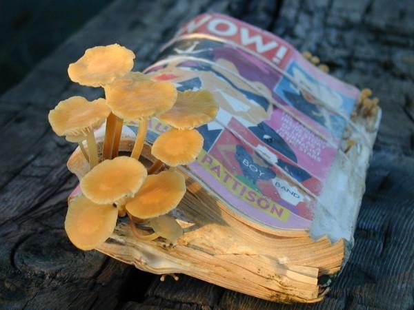 Enoki Mushroom Sawdust Spawn