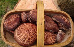 Shiitake Mushroom Trug