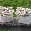 Pearl Oyster Sawdust Spawn