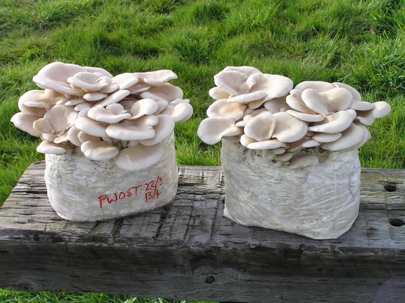 Pearl Oyster Sawdust Spawn - 1kg