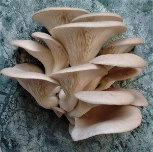 Grey Oyster Mushroom - Mocha Colouring