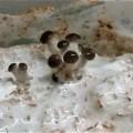 Grey Oyster Mushroom Primordia