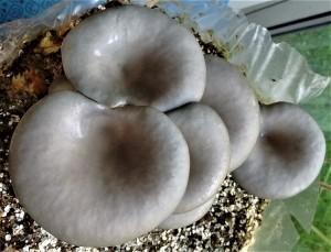 Grey Oyster Mushroom