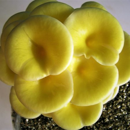 Yellow Oyster Mushrooms