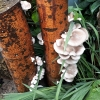 Summer Oyster Mushrooms